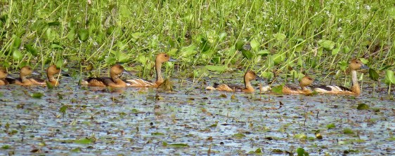 A fascinating discovery of two family groups of Fulvous Whistling-Ducks, that provided visual evidence of successful breeding, was made along the Mississippi River levee near Valmeyer in Monroe Co, Illinois 13 Sep (here 14 Sep). The birds remained in the vicinity through 5 Oct. Photo © Benjamin Murphy.