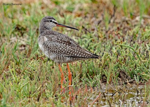 This stunning Spotted Redshank at the Ventura County Game Preserve, Ventura Co, California, shown here on the first day of its 15–25 Sep 2019 stay, rewarded the intensive fall coverage of that site by the photographer. Photo © Larry Sansone.