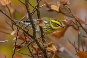 A highly-sought-after gem of a calm autumn morning on the Avalon Peninsula of Newfoundland and Labrador. This Townsend's Warbler was one of a mind-boggling 18 reported from the Avalon Peninsula in the fall of 2019. 8 Sep 2019. Photo © Frank King.