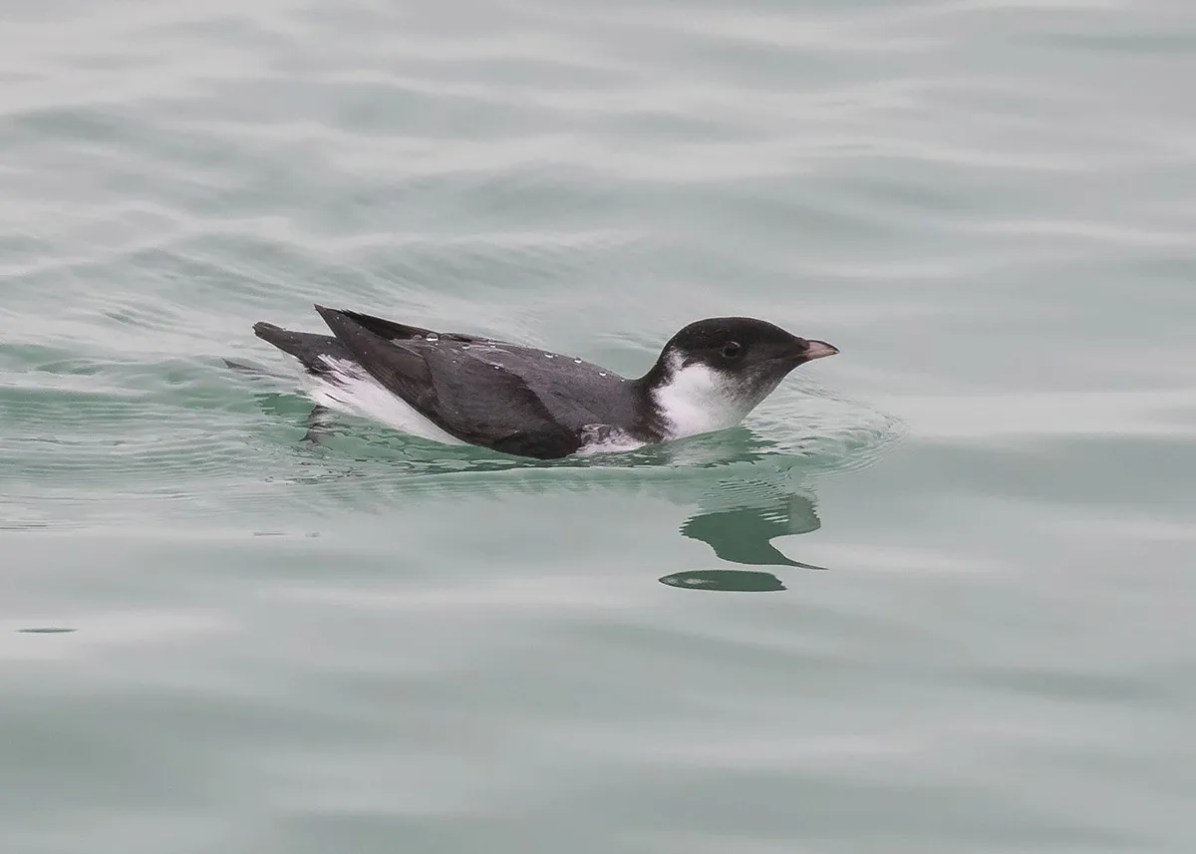 Montrose Harbor in downtown Chicago, Cook Co, Illinois, provided the backdrop for yet another rarity, this Ancient Murrelet discovered on 9 Nov. The bird showed well through the following day (here 10 Nov). Photo © Ryan Jones