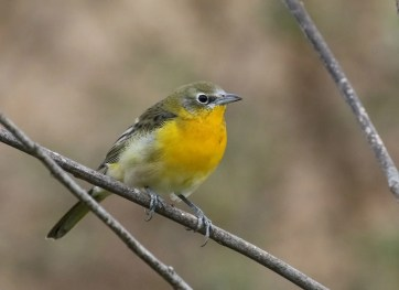 A Yellow-breasted Chat? Or an oriole? This apparent hybrid frequented a riparian strip in Redlands, San Bernardino Co, California 10 (here) to 14 Sep 2019. Photo © Matthew Grube.
