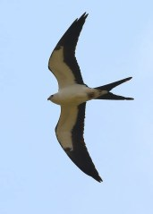 A casual visitor to far northern Alabama, three formally-adorned Swallow-tailed Kites appeared in Lawrence Co 24 August 2019. Photo © Bala Chennupati.