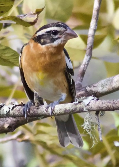 Rare anytime and only occasionally found in Alabama in autumn, a Black-headed Grosbeak was on the Fort Morgan Peninsula, Baldwin Co 24–27 Oct 2019. Photo © Janice Neitzel.