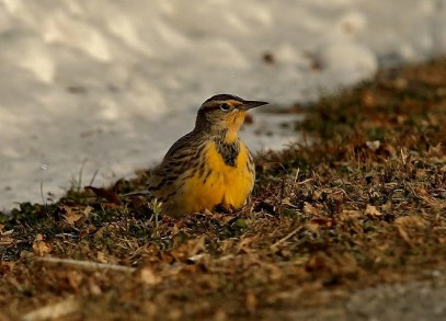 This Western Meadowlark at Saint-Simon-de-Bagot 16–18 November (here 16 November) was carefully identified by observers of southern Québec. Photographed by © Jacques Haineault