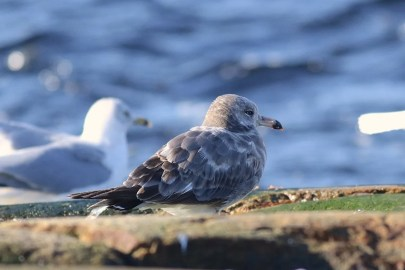 Another first for the region, this second-cycle Black-tailed Gull at Tadoussac 21 October was nicely documented. Photographed by © Olivier Barden.