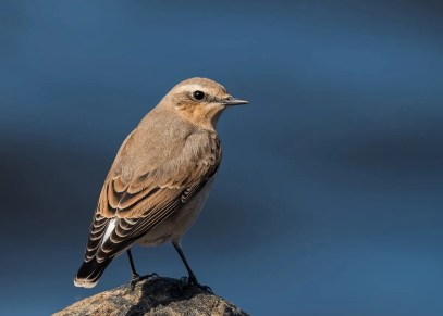Although rare, this Northern Wheatear at Sept-Iles 18–22 September (here 23 September) was not unprecedented for the province. Photographed by © Christian Briand