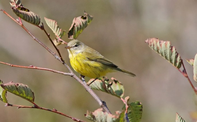 The Prairie Warbler, here at Percé 9 October, is one of our most regular vagrant in the province. Photographed by © Albini Couture.