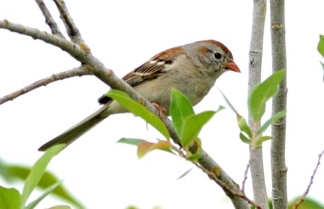 This Field Sparrow was present for about a month between mid-June and mid-July 2019 (here 24 June) in the Hadashville, Manitoba area. Photo by © Garry Budyk