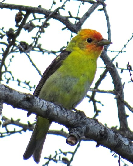 Churchill's third Western Tanager was found at Akudlik on 14 July 2019. It was also seen by others two days later. Photo by © Mark Kubisz.