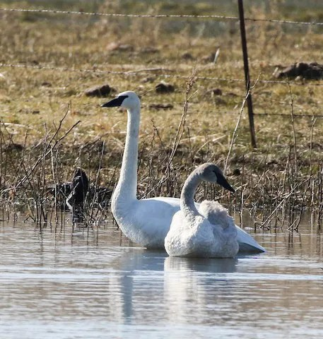 It is speculated that this adult and immature Trumpeter Swan present at Mojave Narrows Regional Park, San Bernardino Co, California on 27 Jan 2020 were the same individuals seen as recently as 18 days earlier some 80 km to the southwest in Los Angeles County. Photo © Thomas A. Benson