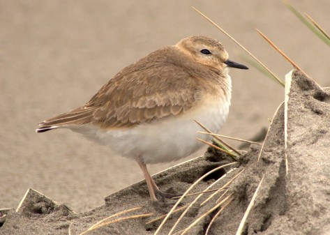 Mountain Plovers are among the Pacific Northwest's most predictable vagrants, and this individual that wintered in the Necanicum Estuary in Gearhart, Clatsop Co was no exception. First seen 16 Jan, it lingered past the end of the season and into Mar. Ten of Oregon's 13 accepted records (two of which pertain to two birds) involve coastal birds between 7 Nov and 22 Mar, while the remaining records are of wintering individuals in the central Willamette Valley in Dec or Jan. Most birds do not stick in the same spot all winter long, probably reflecting local movement. Their favored sandy beach habitat is easily altered by winter storms on the coast, and open farm fields in the valley are often flooded or tilled before the winter is up. Southern Washington contributes six records between 8 Nov and 22 Feb, all from beaches of Grays Harbor Co or Pacific Co. Photo © Scott O'Donnell.