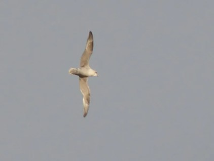 Caption 2. This Northern Fulmar at Gatineau 15 Dec 2019 was remarkable so far inland. Photo © Gregory Rand.