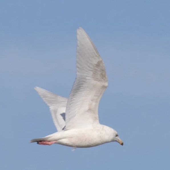 Glaucous Gulls were reported at multiple locations throughout the state. One of the many, was this one at Mann-Nyolt Lake, Adams Co. 18 Feb 2020. Photo by Adam Vesely.