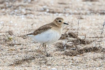 Wintering Mountain Plovers have declined precipitously in the Southern California Region, and are now just casual on the coast, where this well-studied individual was present at Bolsa Chica Reserve in Huntington Beach, Orange Co, for most of the winter period (here on 22 Dec 2019). Photo © Jeff M. Bray