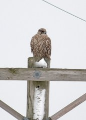 Originally found by Ken Murphy on 26 Jan, this Gyrfalcon remained in the area of LaSalle Lake, LaSalle Co, Illinois through 1 Feb. Although not particularly clear in the two Gyrfalcon photos presented here, it has been suggested that, based on the ventral streaking pattern and on the worn, frayed rectrices (not visible here), that the Indiana and Illinois Gyrs, as well as one seen near Detroit, Michigan in December, were the same individual. 28 Jan 2020. Photo © Tamima Itani.