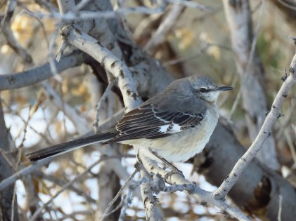 A few Northern Mockingbirds show up annually in the Prairie Provinces. This bird was at Lethbridge, AB on 8 Jan 2020. Photo © Ken Orich.