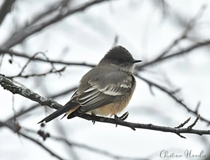 Although not record-late, this Say's Phoebe at Champlain 5 Dec 2019 was notable. Photo © Christiane Hamelin.