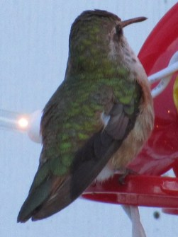 A Rufous/Allen's Hummingbird lingered through 18 Dec (here 17 Dec) in Melvern Square, Nova Scotia. Photo © Larry Neily