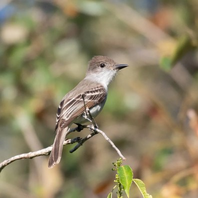 Florida hosted a remarkable three La Sagra's Flycatchers during this winter season. This one was initially found in Everglades NP on 24 Feb 2020 and photographed here on 16 Mar. Photo © Larry Manfredi
