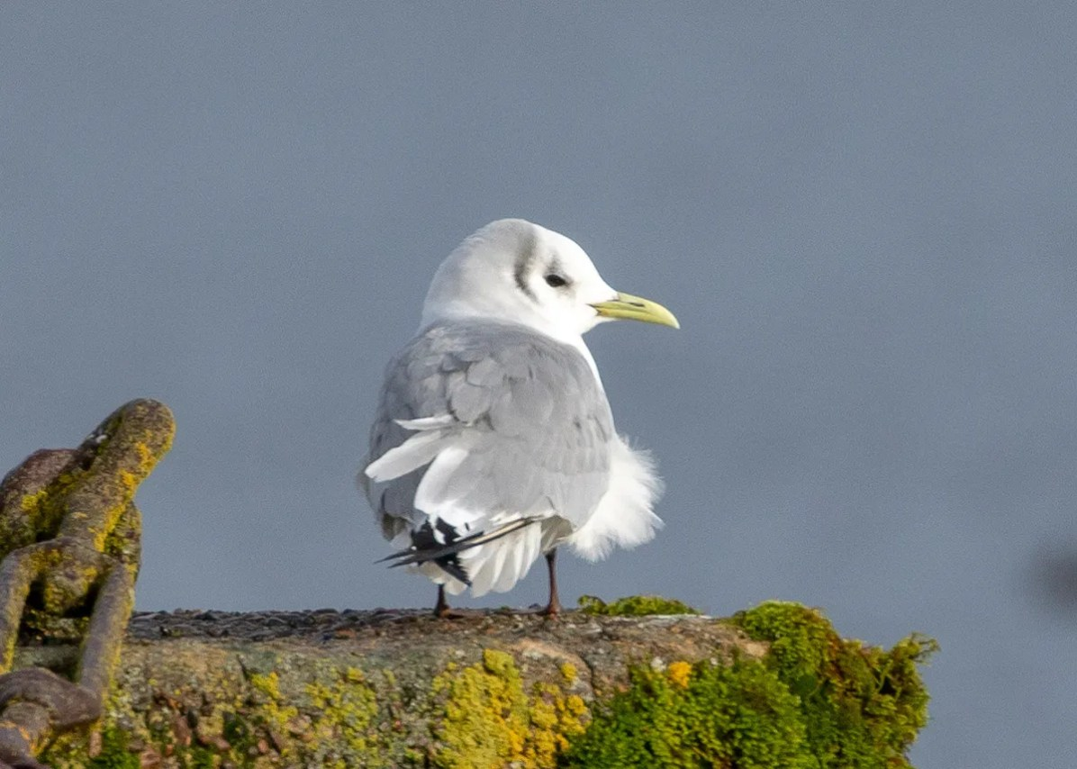 At least 14 Black-legged Kittiwakes were found in interiorwestern Oregon following a mid-Jan storm. All but one were adults, including this individual at Vernonia Lake City Park, Columbia Co on 12 Jan 2020.Photo © Philip Kline.