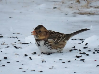This Harris's Sparrow photographed 17 Feb 2020 at Rivière la Madeleine overwintered successfully. Photo © Georgette Blanchette.
