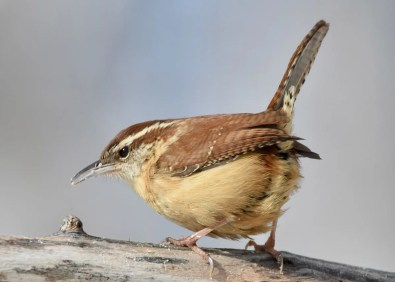 This Carolina Wren was a surprise feeder visitor in Montague, PE, and was the province's 6th record of the species. Photo © Dale Murchison