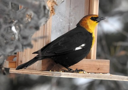 This Yellow-headed Blackbird photographed at Rouyn-Noranda 25 Jan 2020 overwintered successfully—a first for the Abitibi region. Photo © Marie-Ève Gauthier.