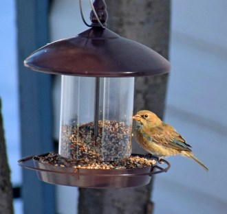 This Indigo Bunting photographed here 5 Feb 2020 was seen intermittently at Mont Saint-Hilaire until 16 Mar 2020; it represents a first record in the province for the months of Jan, Feb, and Mar. Photo © Robert Allie.