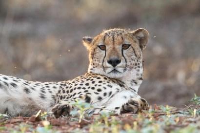 Cheetah-ZRR-SA-AR-01