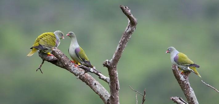 Pigeon,-African-Green-MPGR-SA-AR