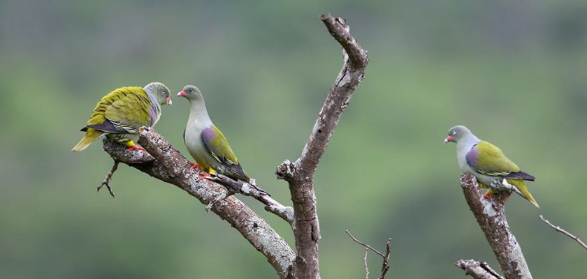 Pigeon,-African-Green-MPGR-SA-AR