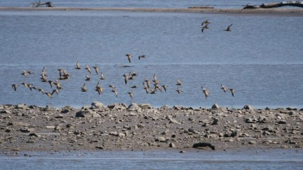 A phenomenal interior–North America count of 58 Whimbrel came from Riverlands Migratory Bird Sanctuary, St. Charles Co, MO 24 May 2020. Photo © Mike Grant.