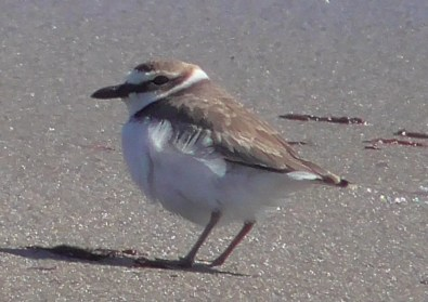 This Wilson's Plover was one of 2 in the region this spring. It was present at Scarborough State Beach, Narragansett, RI, from 16—23 Mar 2020 (here 22 Mar). Photo by © Alan Strauss