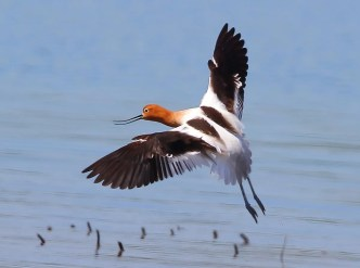 American Avocet, 6–13 May Leighton, Colbert Co, Alabama, occasional in spring in inland Alabama. Photo © Bala Chennupati.