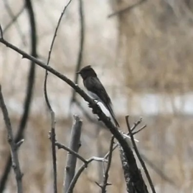 This Black Phoebe, Nebraska's 1st, was discovered at the Morrill Sandpits, Scotts Bluff Co., 26 Apr 2020. Photo by © Tony Leukering.