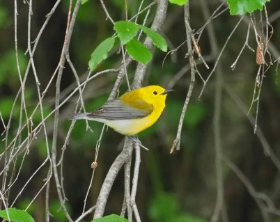 Nathan Earley found this male Prothonotary Warbler, British Columbia's tenth, along the Okanagan River, north of Osoyoos, while doing a big day on 17 May 2020. Photo © Nathan Earley.