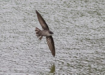 Until not many years ago, there were no confirmed records of Vaux's Swift in Alberta, as neither specimens nor diagnostic photographs existed. This bird was one of three at Canmore on 21 May 2020. Photo © Neil Denton.