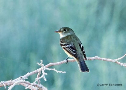 Only the sixth for the region, this Alder Flycatcher was present 25–26 May at a golf course pond in California City, Kern; this photo was taken on the latter date. Photo © Larry Sansone.