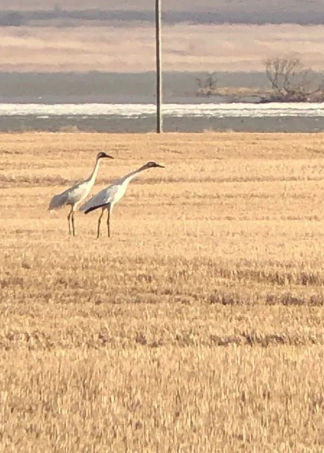 Whooping Cranes were seen intermittently at Whitewater Lake, Manitoba, during the spring and summer of 2020 – here seen on 21 April. Photo © Trevor Catchpole.