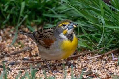 Joan Moore got a shock when a male Dickcissel arrived at her feeder in Agassiz, in the eastern Fraser Valley, on 12 May 2020. It provided the 27th record of this species for British Columbia. Photo © Joan Moore.