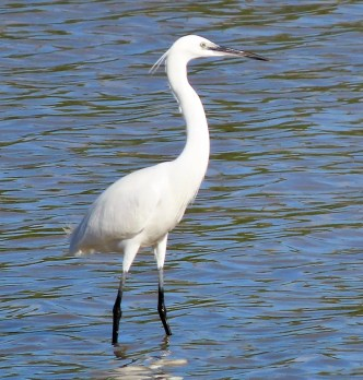 Jaqueline Cestero was able to photograph Anguilla's first record of Little Egret at Meads Bay Pond 4 Mar 2020. Photographed here on 4 Mar. Photo © Jacqueline Cestero.