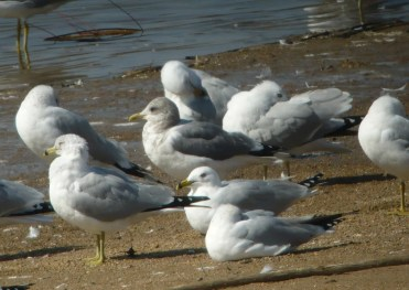 Missouri's second Mew Gull was a one-day wonder at Smithville Lake, Clay Co 11 Mar 2020. Photo © Doug Willis.