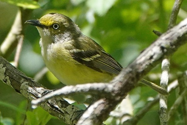 One of two White-eyed Vireos found in the region this spring, this bird was present 23–31 May (here on the first date) in Isla Vista, Santa Barbara. Photo © Adrian O'Loghlen.