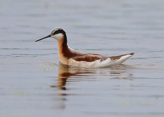 Wilson's Phalarope 22 Apr Swan Creek WMA, Limestone Co, Alabama, rare in the T.V. Photo © Bala Chennupati.
