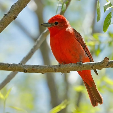 This male Hepatic Tanager, only the 6th for Oklahoma, was found at a riparian stand in the mesa country from where 2 of the other records have occurred. It was observed there from 13–27 May 2020 (here 13 May 2020). All of Oklahoma's records of this species have come from Cimarron Co. Photo by © Steve Metz.