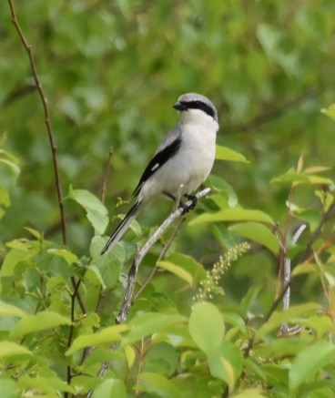 Now a significant regional rarity, this Loggerhead Shrike at Bargh Reservoir in Stamford, CT, was one of 2 in New England this spring. It was present 25—26 May (here 25 May). Photo by © Max Collins