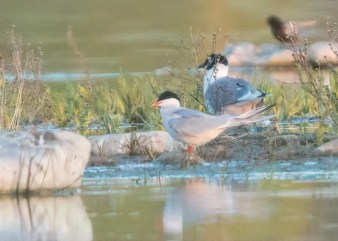 This Arctic Tern at Hastings Lake, east of Edmonton, Alberta, in late May 2020 was one of two reported in the province during the spring. Photo © Bob Bowhay.