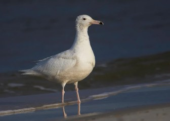 Glaucous Gull, 10 May Fort Morgan, Baldwin Co, Alabama, rare but regular in spring on the G.C. Photo © Stephanie Pluscht