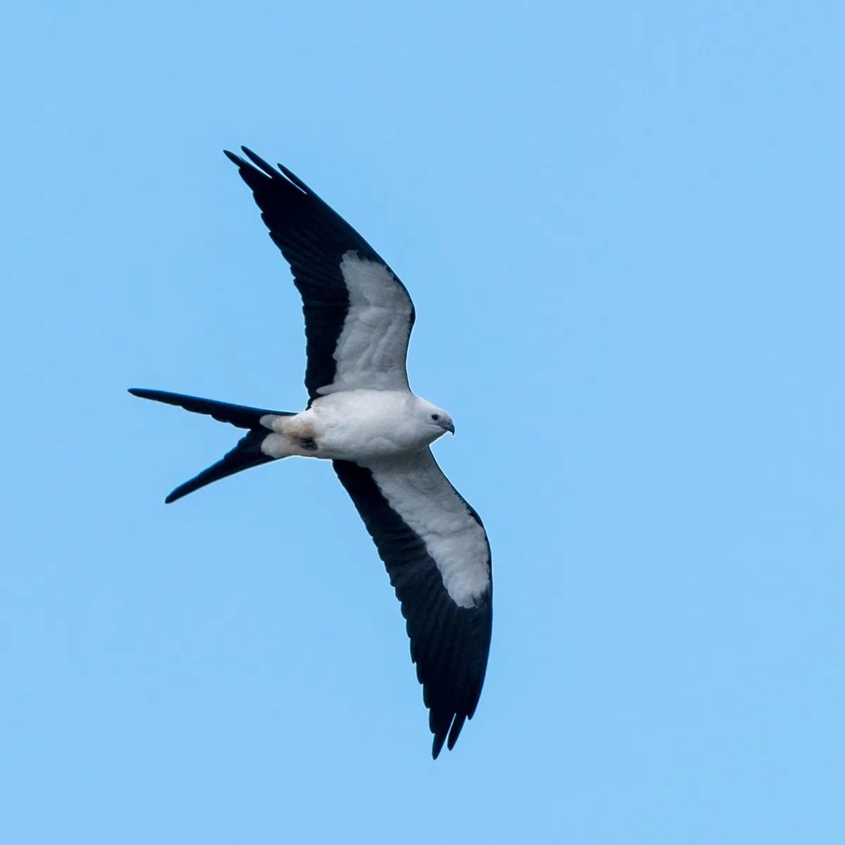 Swallow-tailed Kite is a much hoped for spring vagrant in Bermuda. LeShun Smith was the only local birder lucky enough to see and photograph one on 8 Mar 2020 at Riddell's Bay. Photo © LeShun Smith.