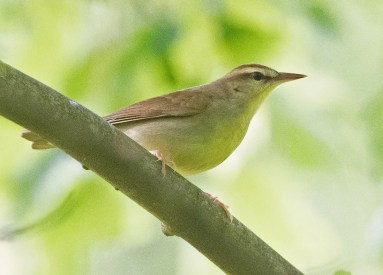 This Swainson's Warbler, observed 9 May 2020 in Cypress Creek NWR, Union Co, Illinois, provided Illinois's seventh record in the last 10 years and represented one of two this season in the Illinois & Indiana region. Photo © Christopher Gilbert.